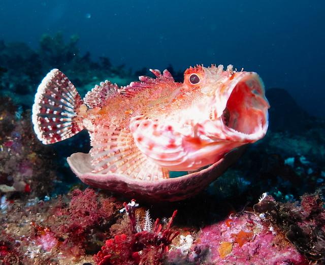 Yawning Rock Cod - Bass Point