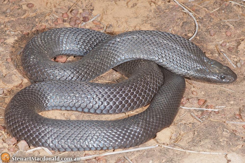Spotted black snake (Pseudechis guttatus)