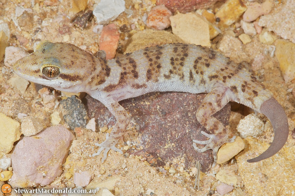Bynoe's gecko (Heteronotia binoei)