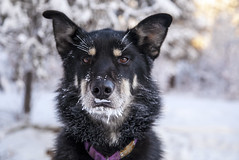 german shepherd dog(0.0), street dog(0.0), karelian bear dog(0.0), tervuren(0.0), mudi(0.0), dog breed(1.0), animal(1.0), lapponian herder(1.0), dog(1.0), snow(1.0), pet(1.0), mammal(1.0), wolfdog(1.0), east-european shepherd(1.0),