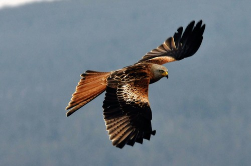 Red Kite by Gordon McKinlay