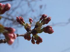 桜のつぼみは、まだ固いまま