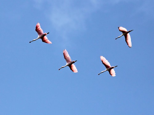 Roseate Spoonbills in flight 20130414