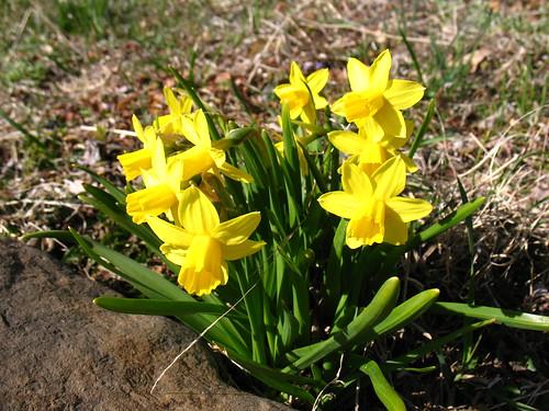Spring! Daffodils