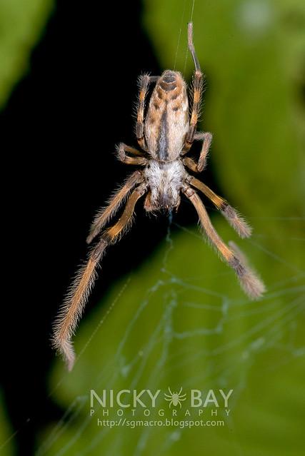 Pseudo orb web spider (Fecenia sp.) - DSC_0561