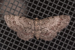 Texas Gray Moth