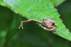 Strange spider from Sulawesi