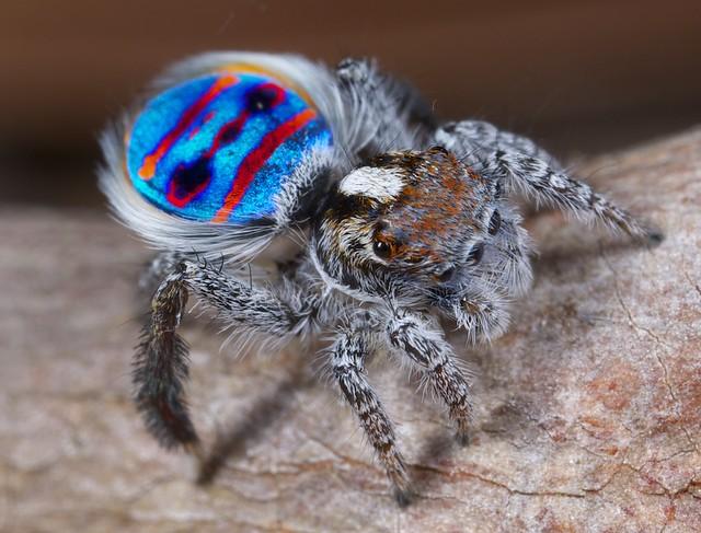 _X8A1430 Peacock spider Maratus speciosus