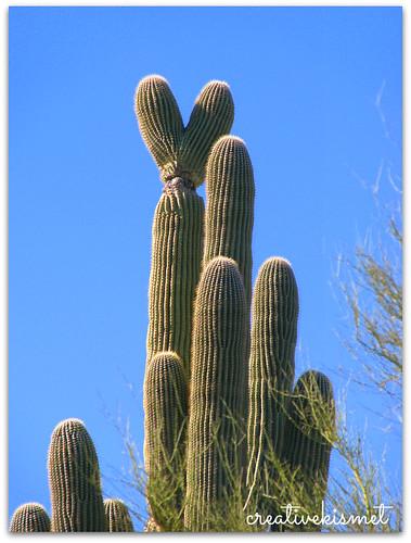 heart saguaro