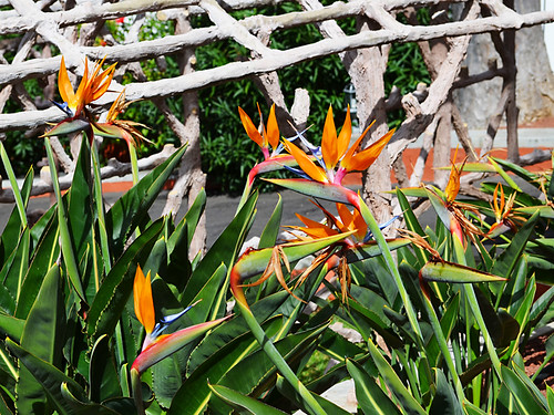 Bird of Paradise, La Orotava, Tenerife