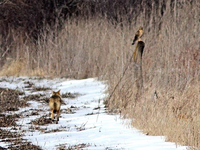 Coyote and female harrier 2-20130225