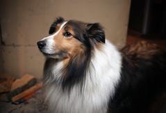 australian shepherd(0.0), dog breed(1.0), animal(1.0), dog(1.0), pet(1.0), scotch collie(1.0), miniature australian shepherd(1.0), rough collie(1.0), collie(1.0), carnivoran(1.0), shetland sheepdog(1.0),