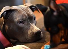 puppy(0.0), dog breed(1.0), animal(1.0), pit bull(1.0), dog(1.0), pet(1.0), mammal(1.0), american pit bull terrier(1.0), staffordshire bull terrier(1.0), terrier(1.0),