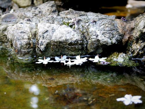 Wrightia religiosa - Mai chiếu thủy