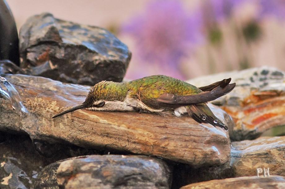 Anna's Hummingbird 030213