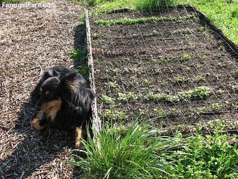 Bear guarding a raised bed of direct seeded beets and spring greens, taken 4-1-07