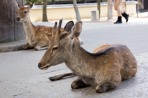 因為奈良有可愛的鹿, 所以也引來不少美眉來遊覽