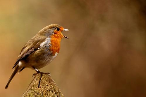 [フリー画像素材] 動物 (哺乳類), 鳥類 (その他), ヨーロッパコマドリ・ロビン, 動物 - 口を開ける ID:201303100400