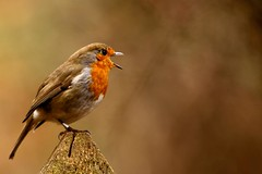 [Free Images] Animals (Mammals), Birds (Others), European Robin, Animals - Open One's Mouth ID:201303100400