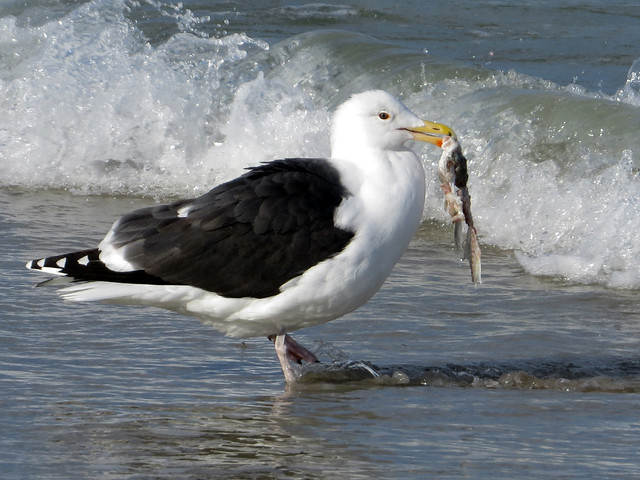 Great Black-backed Gull with fish scraps
