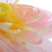 Pink Lotus Flower-  DD0A0933 by Bahman Farzad