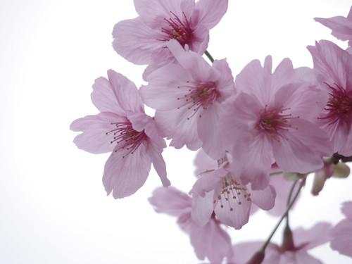 Sakura bloom in Tokyo 13