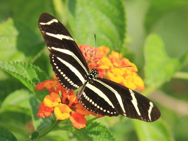 Zebra heliconian 2-20130320