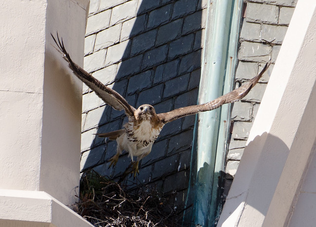 Red-tail launches from lower steeple of Raleigh First Baptist Church