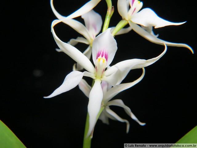 1063 - Anacheilium glumaceum