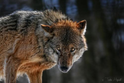 Wolf by ddimblickwinkel