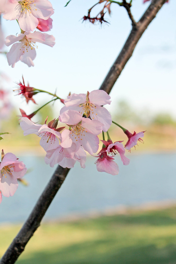 Cherry Blossoms (2)