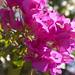 Una Bounganvillea magenta en los jardines del Parque Central de Palmira, provincia de Cienfuegos, Cuba - 2013
