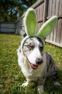 Easter Corgis