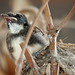 Baby Pied Fantail...Ready to leave the nest by sasithorn_s