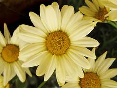 Argyramthemum frutescens * amarillo