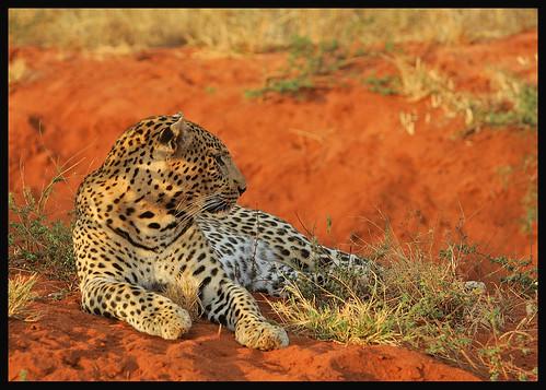 kenya ngc npc africanleopard pantherapardus tsavowest pantheraparduspardus naturesharmony rainbirder