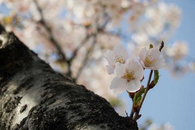 sakura last year