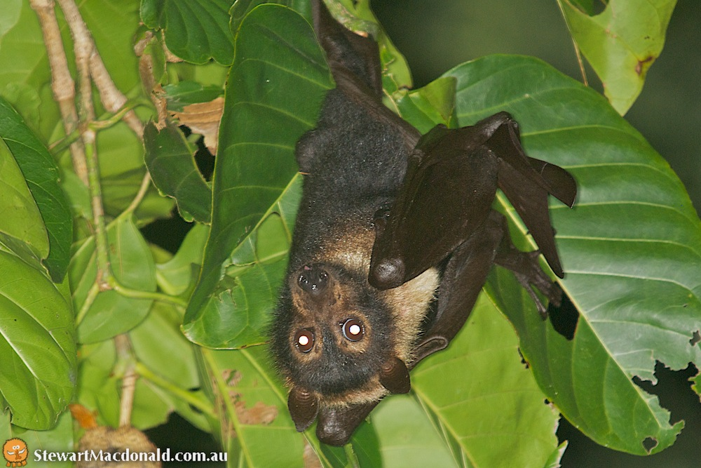 Spectacled flying-fox (Pteropus conspicillatus)