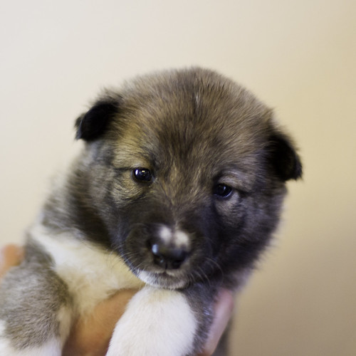 Ike-Kilbe-Pup5-Female(Day 22)-1