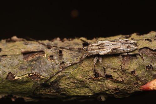 ドイカミキリ Mimectatina divaricata divaricata