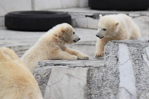 bear animal japan zoo sapporo hokkaido polarbear 北海道 日本 動物 札幌 動物園 円山動物園 クマ maruyamazoo ホッキョクグマ
