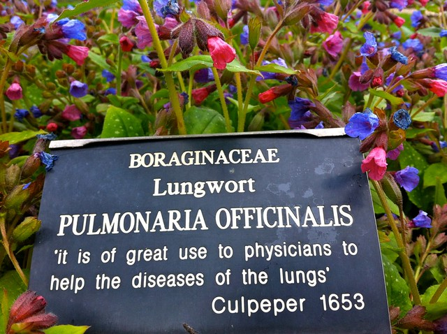 Lungwort (Pulmonaria officinalis) from Flickr via Wylio