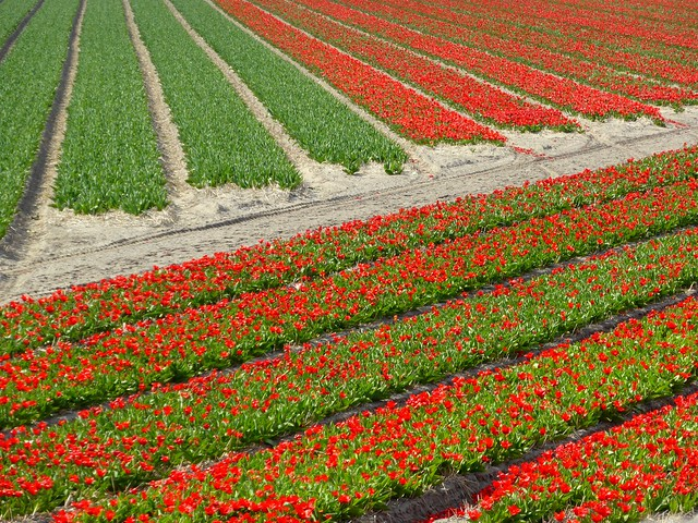 Welcome to Holland! Flowers are blooming!