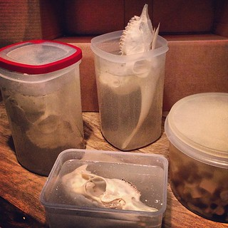 BONELUST BONE PROCESSING PROGRESS: Right now I have these skulls/bones in their final H2O2 bath. Deer skulls, goat skull & wild boar vertebrae. One deer skull is on the side to further lighten a stain. The goat skull was too big for the container so once