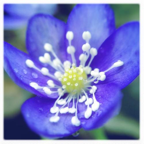 sinivuokko • blåsippan • common hepatica
