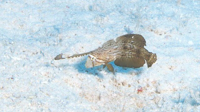 ホシテンス幼魚♪