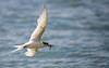 White_Fronted_Tern