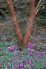 Cyclamen coum below Stewartia