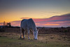 New Forest pony in sunset