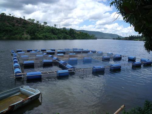 africa ghana tilapia aquaculture